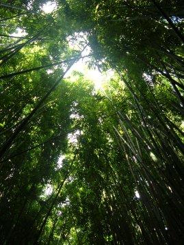 Seven Sacred Pools Bamboo Forest Canopy - Hana Maui